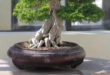 WaterJasminebonsai711October102008