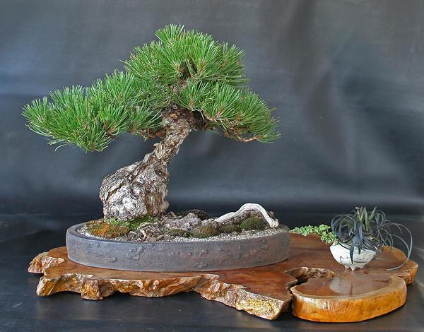 Бонсай из сосны можно украсить корягами и декоративной зеленой травой
