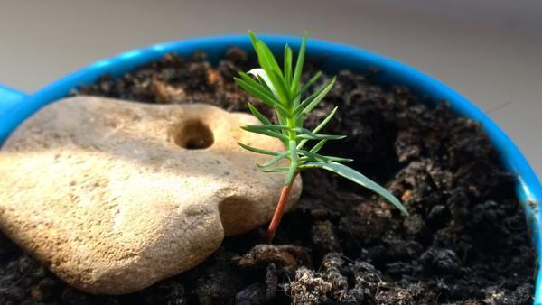 rostok-bonsai.jpg