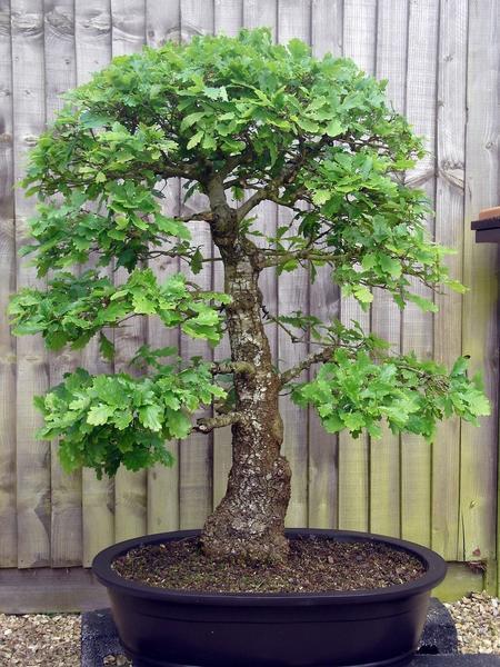 В наших климатических условиях можно вырастить бонсай из дуба