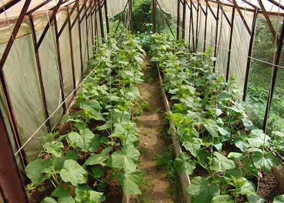 Своевременный уход за огурцами в теплице позволит получить ранний и обильный урожай