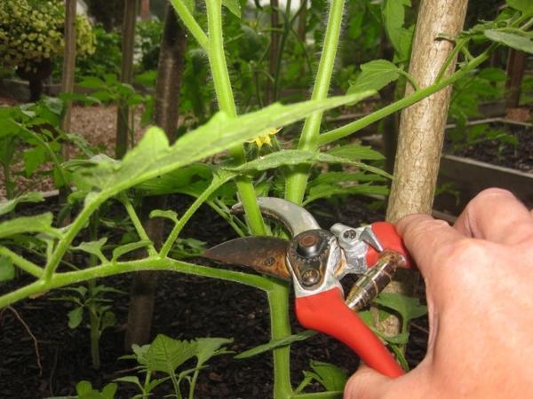 Пасынкование – это удаление дополнительных побегов, которые растение выпускает для разрастания куста