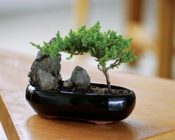 Красивый бонсай органично впишется в любой интерьер, создавая атмосферу уюта