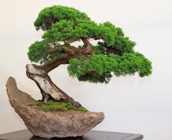 Бонсай – это миниатюрная копия любого природного дерева