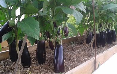 Чтобы выращивать перцы и баклажаны в одной теплице, не нужно иметь какого-либо опыта