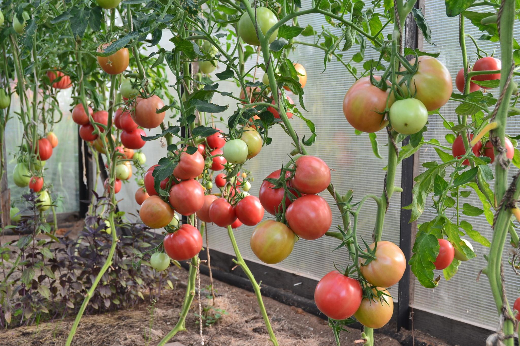 сорта помидор для урала для теплиц отзывы