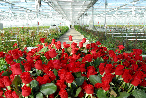 выращивание роз в теплице на продажу бизнес
