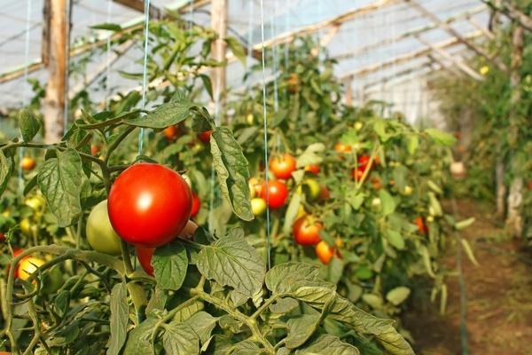урожайные низкорослые сорта томатов для теплиц