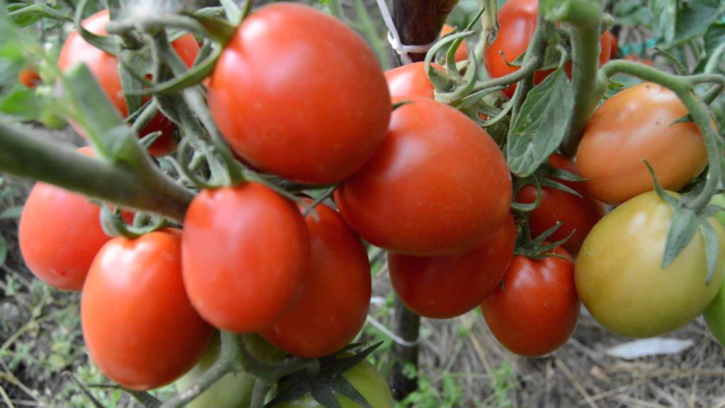 лучшие томаты для сибири для теплиц