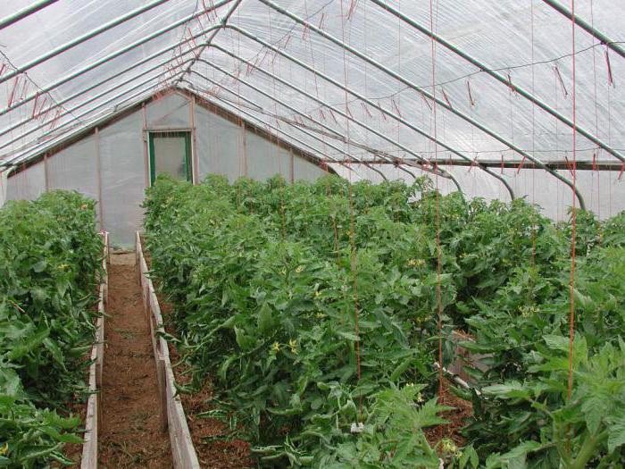 помидоры тянутся в теплице что делать