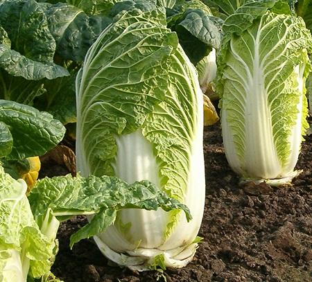 Перед тем как выращивать пекинскую капусту в теплице, стоит изучить теоретическую часть процесса