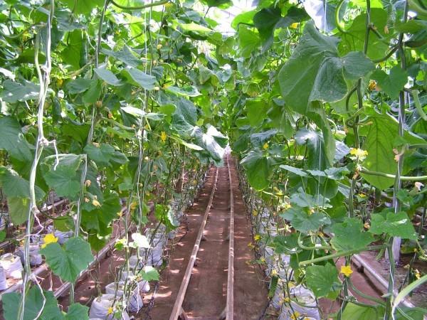 температура выращивания огурцов в теплице