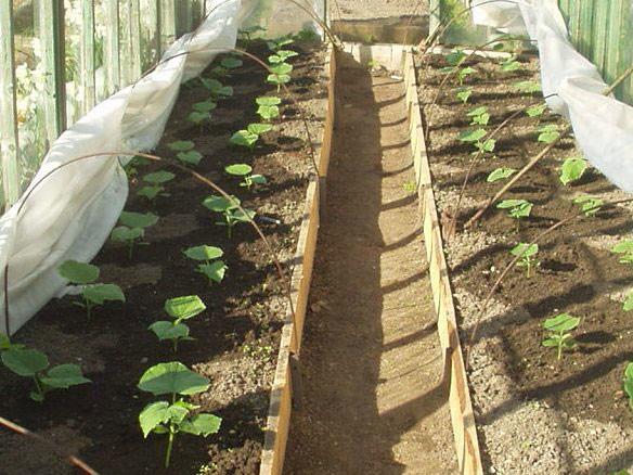 Прежде чем выращивать огурцы, изучите их основные характеристики и необходимые условия для их роста