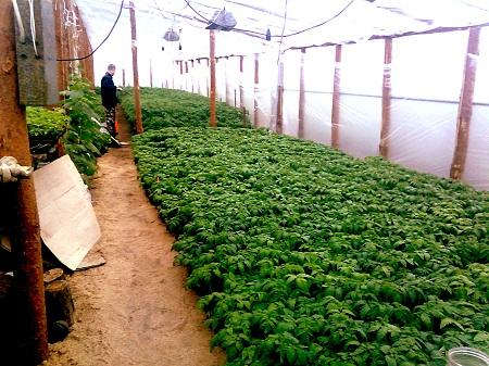 Благодаря поддержанию оптимальной температуры в теплице можно существенно улучшить качество урожая