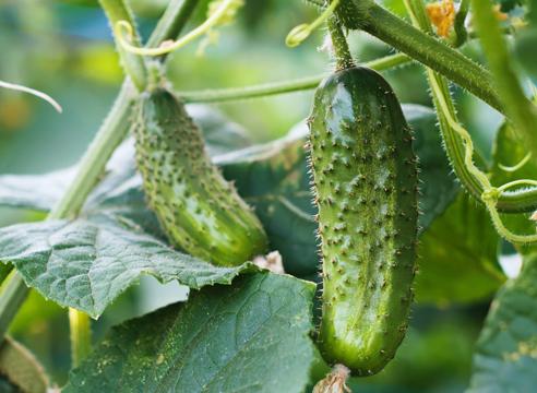 Достаточно часто садоводы сталкиваются с тем, что в теплице растут горькие огурцы