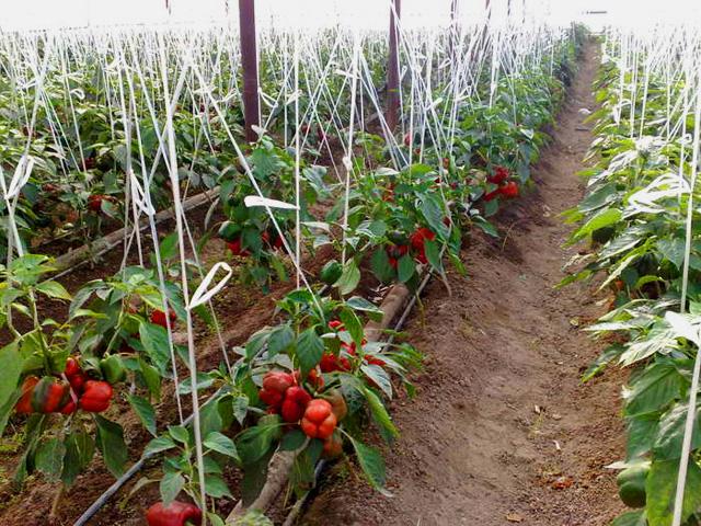 Использование парника позволяет выращивать большее количество сортовых культур перца