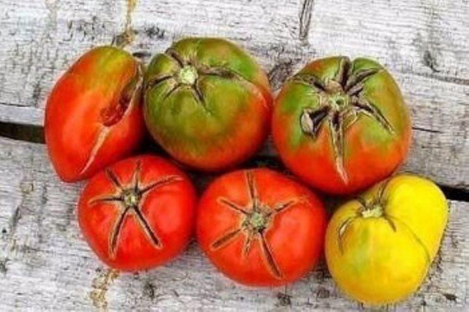 Наиболее часто помидоры, которые выращиваются в теплице, подвергаются вершинной гнили