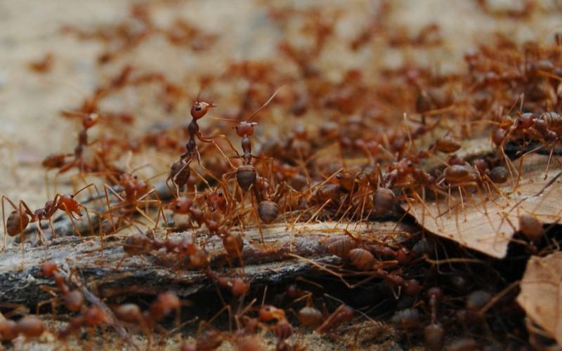 Муравей – полезное насекомое, но его присутствие на даче крайне нежелательно