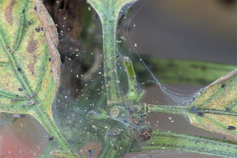 Опутанные паутиной пожелтевшие листья указывают на появлении клеща в теплице