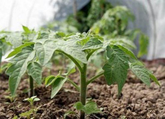 При подкормке растений следует правильно подбирать концентрацию и соблюдать особые условия