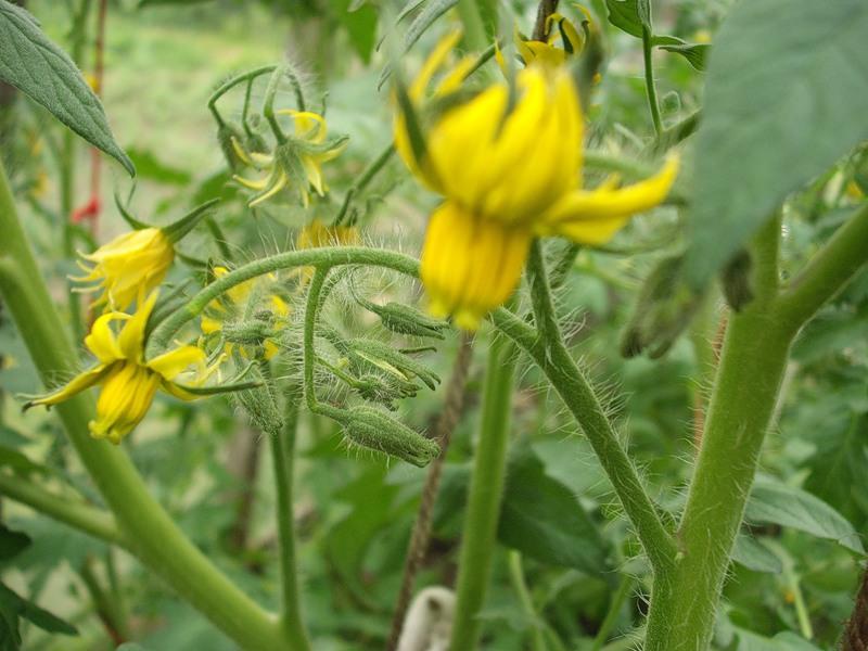 Для образования завязей томатам нужны определенные условия