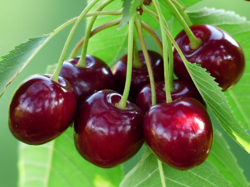 Сорт вишни Чудо