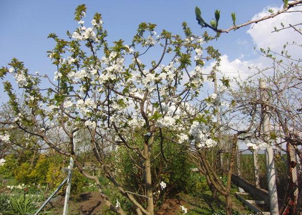 Дерево вишни Чудо