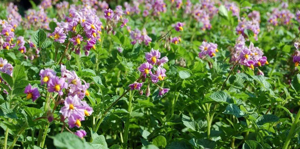 Цветение картофеля Любава