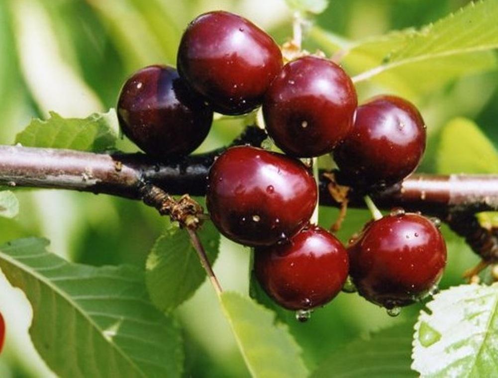 Плоды вишни Чудо