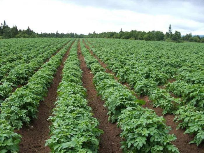 Посадки картофеля сорта Любава