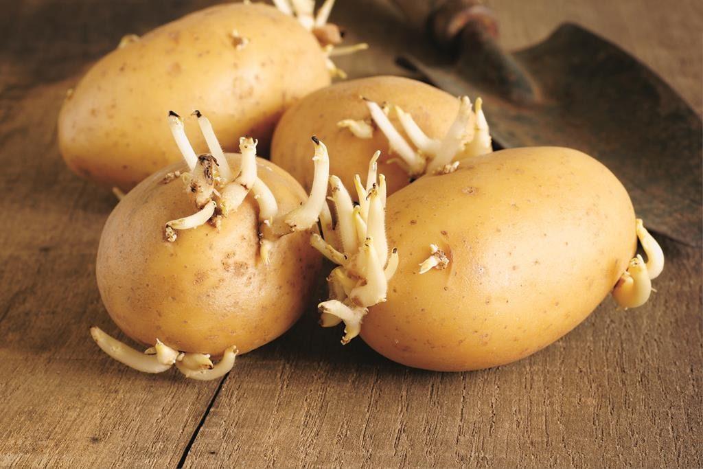Пророщенный в темноте картофель