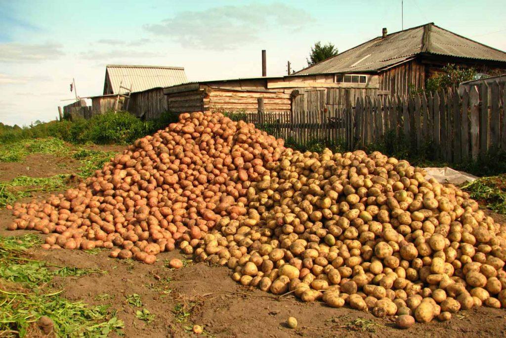 Две кучи картофеля перед домом