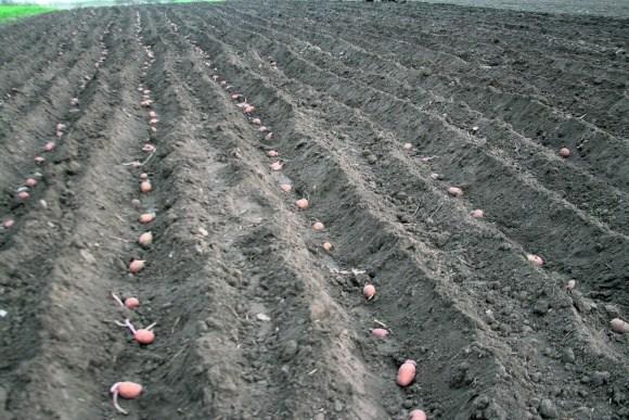 Однострочный способ посадки картофеля
