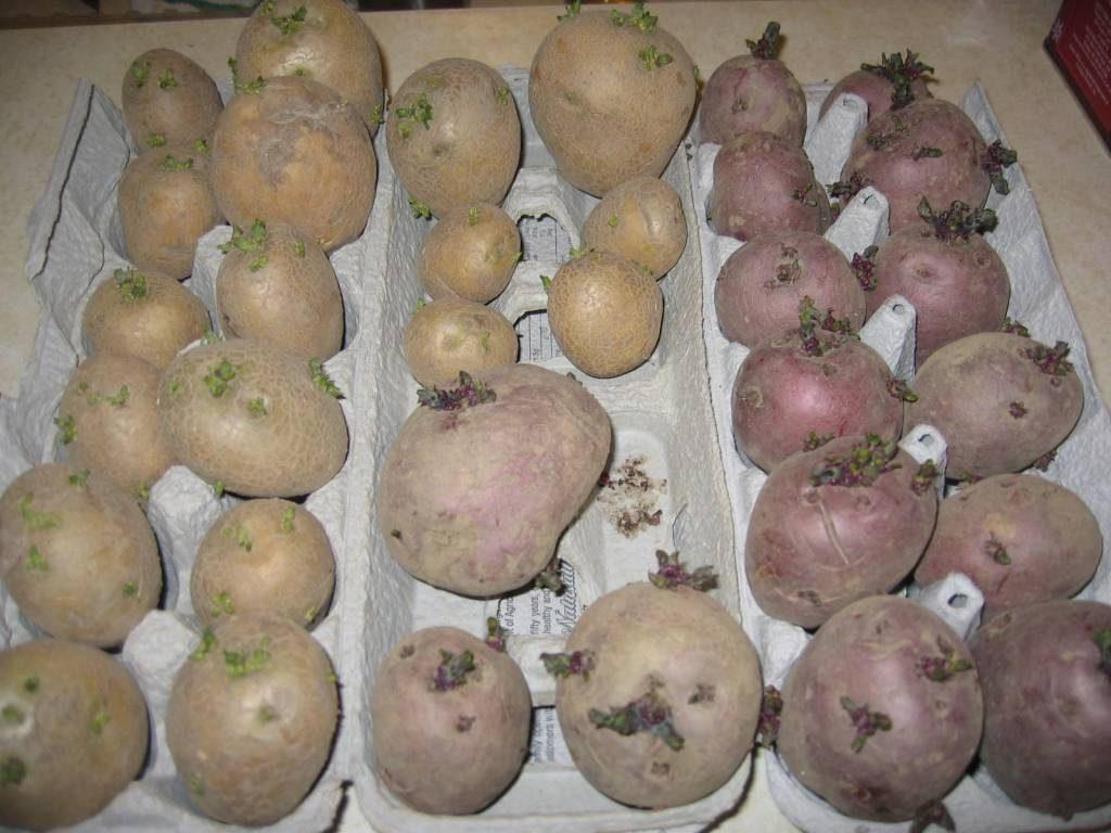 Яровизированный картофель