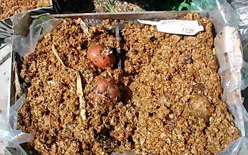 Картофель под слоем опилок