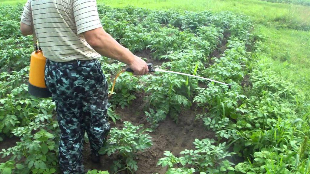 Обработка кустов картофеля от болезней