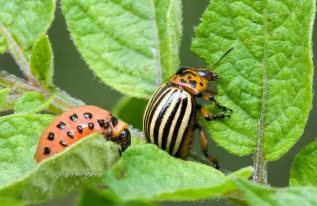 Колорадский жук на картофеле