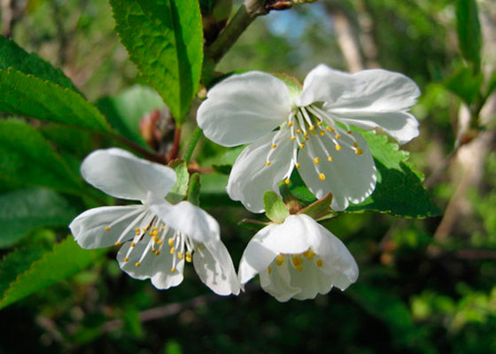 Соцветие вишни Шоколадница