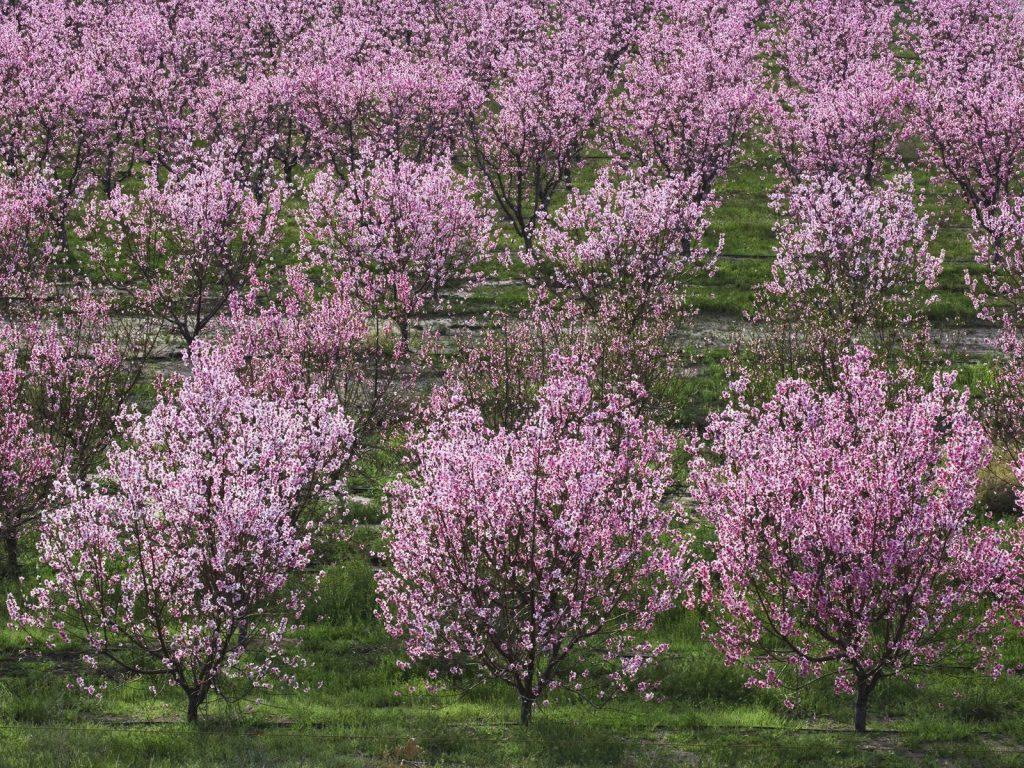Ряды вишнёвых деревьев