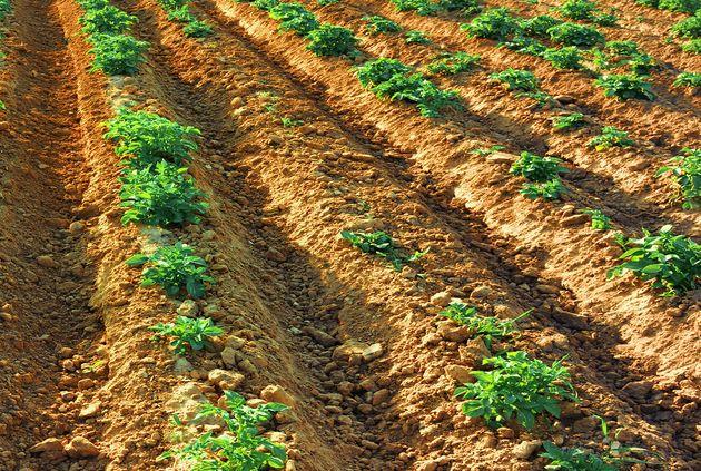Картофель, высаженный в гребни
