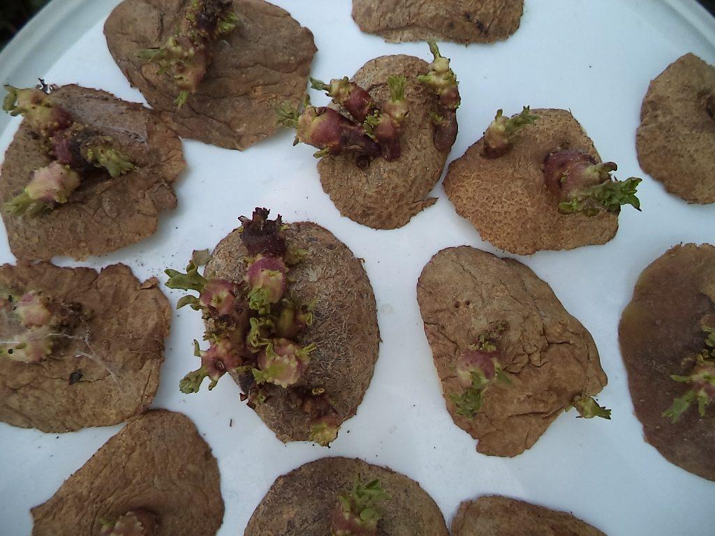 «Глазки» картофеля