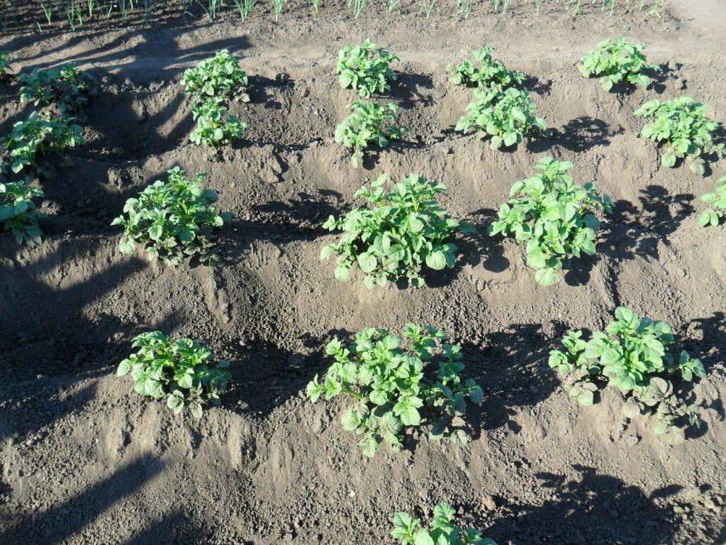 Подходящее место для выращивания картофеля