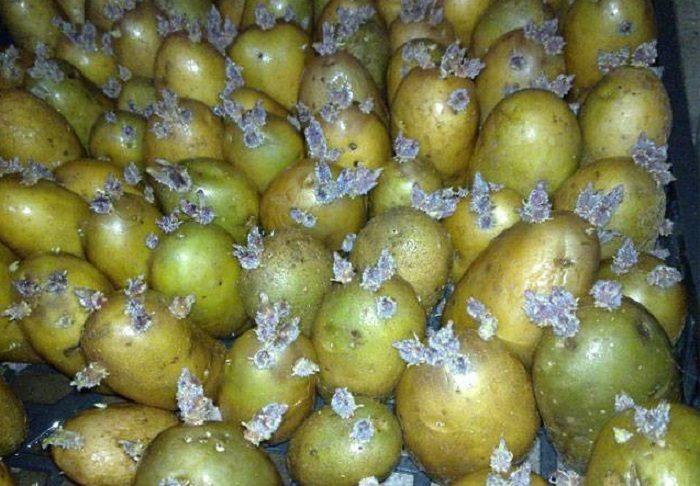Озеленение клубней картофеля