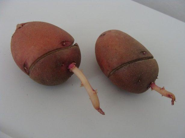 Кольцевой надрез на клубне картофеля