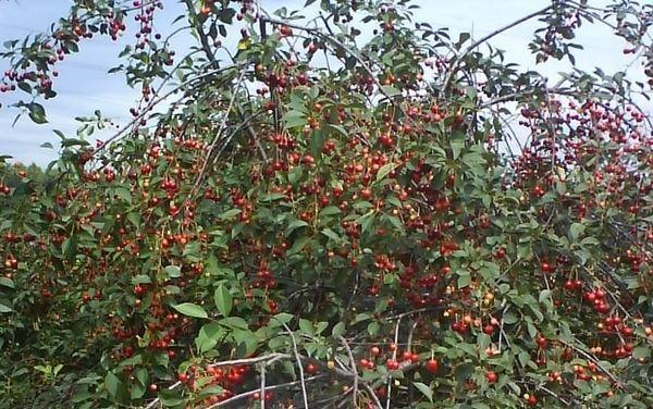 Дерево вишни Молодёжная имеет кустовидную форму