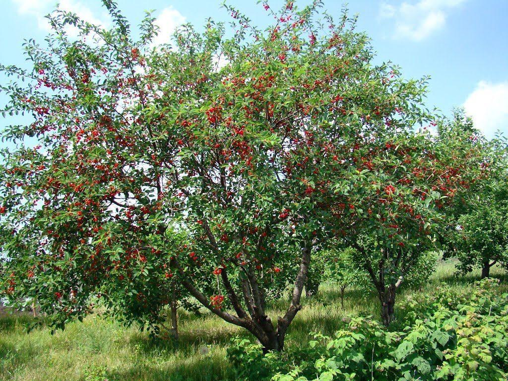 Солнечное место для посадки вишни