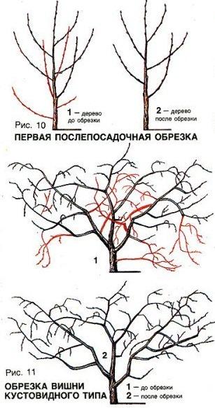 Схема формирования кустовидной вишни