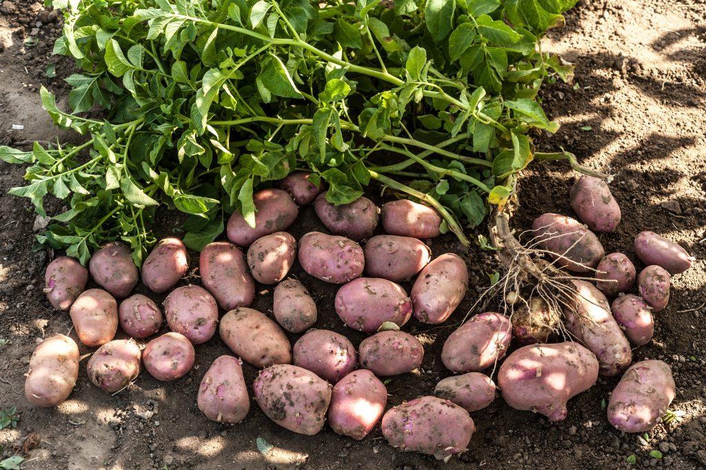 Урожай картофеля сорта Ред Скарлетт