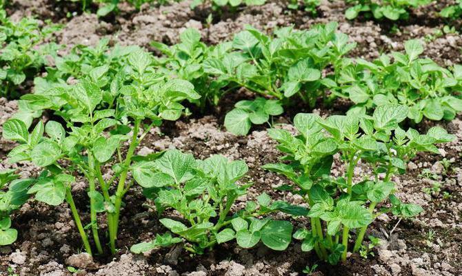 Расположение побегов на кустах картофеля сорта Ред Скарлетт