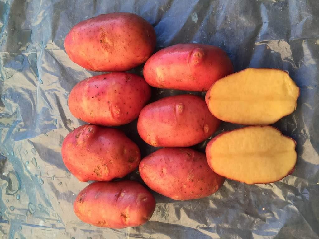 Клубень картофеля сорта Ред Скарлетт на разрезе
